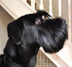 Do Giant Schnauzer Dogs Shed Hair by My Beautiful Giant Schnauzer Enzo Schnauzer Babies Pinterest