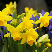 buy miscellaneous daffodil bulbs narcissus tete a tete delivery