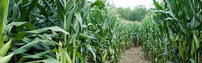 Toms Maze Pumpkin Farm by Your Ultimate Guide To Corn Mazes U0026 Pumpkin Patches In Dayton