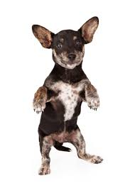 Do All Big Dogs Shed by 6 Facts About Chiweenie A K A Chihuahua Dachshund Mix Animalso