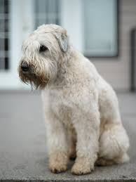 labrador soft coated wheaten terriers need early socialization