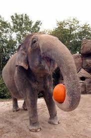 Pumpkin Patch Cincinnati by Elephant Pumpkin Holidays Halloween Pumpkin Patch Pinterest
