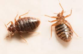 Bed bug bites treatment and prevention