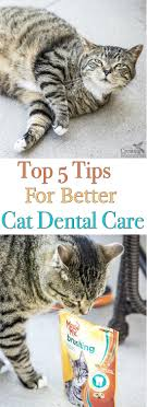 cat dental care top five tips for proper cat dental care for clean teeth