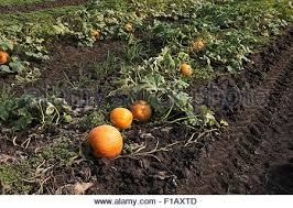 Northern Illinois Pumpkin Patches by Pumpkins Ripening On The Vine In Northern Illinois Usa Stock