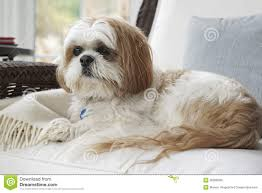 Shih Tzu - Lap Dog On The Furniture Stock Photo - Image: 35098298 Faux Suede Pet Fniture Covers For Sofas Loveseats And Chairs Comfort Research Big Joe Bagimals Dawson The Dog Bean Bag Armchair Shih Tzu Lap On The Stock Photo Image 350298 Dog Cat Chamomile Amazoncom Sure Fit Quilted Throw Sofa Slipcover Taupe King Sitting His Throne 1018169 Shutterstock Antique Asian Chair Chinese Export Wood Carved Dragon Lion Foo Me My Dogcat Fold Out Bed With Protector Available In Dogs Amazoncouk Boxer Destroyed A Leather Armchair Alone At Home Damaged Hound Buttonback Occasional Loaf