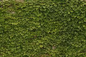 Ivy Textures Texturemate Com