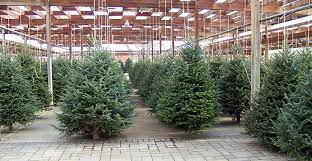 Aspirin Keep Christmas Trees Alive by Ask Wet U0026 Forget How To Make Your Christmas Tree Last Longer Ask
