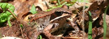 100 King Of The Frogs Wood Frog Reptiles Amphibians In Ontario Ontario Nature