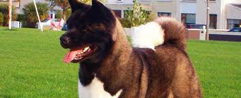 Do Akita Dogs Shed Hair by American Akita Dog Breed Info Characteristics Traits