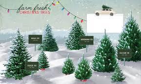 Nordmann Fir Christmas Tree by Mahoney U0027s Garden Center Christmas Trees