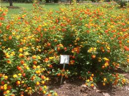 Oklahoma Pumpkin Patch Directory by Lsu Agcenter Announces 2017 Plants With Potential