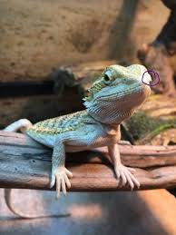 nostril plugged bearded dragon org