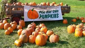 Pumpkin Picking Riverhead by Pumpkin Picking On Long Island Guide