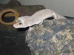 Bearded Dragon Shedding Behavior by My Leopard Gecko Won U0027t Eat Feeding Problems Behavior Change