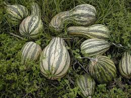 Stages Of Pumpkin Plants by Cushaw Squash Varieties Tips On How To Grow Cushaw Squash