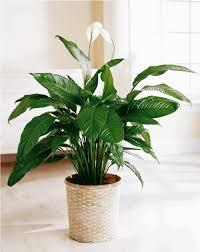 plantes vertes d interieur plantes vertes d intérieur 40 propositions pour changer votre