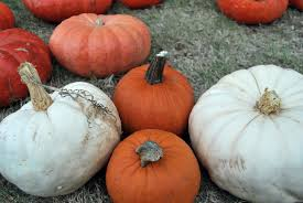 Pumpkin Patch Fort Collins by Pick Your Own Pumpkins In Dallas Fort Worth