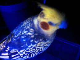 File Cockatiel under blacklight Wikimedia mons