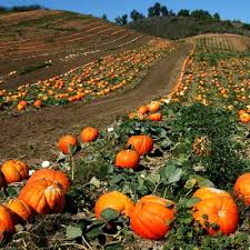Pumpkin Patch Nashville Area by Pumpkin Patches In Williamson County