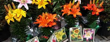 recycling easter bulbs and lilies hewitts garden centers