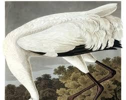 Vintage Audubon Hooping Crane Bird Print Giclee Art Poster Beach