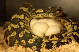 Coastal Carpet Python Facts by Care Of Jungle Carpet Pythons