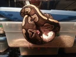 Ball Python Shedding Eating by Husbandry U2014 Platinum Morphs
