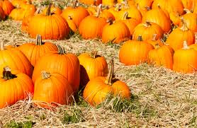 Underwood Farms Pumpkin Patch Hours by Top Reasons To Visit Orange County In Fall Cbs Los Angeles