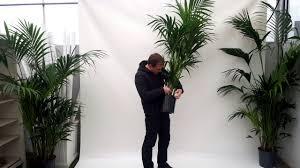 produktvideo kentia palme 170 180cm zimmerpflanze