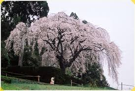 Tocchoko Kochi Search Photos Spot In Weeping Cherry Blossom Tree