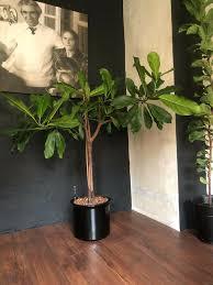140 x 140 cm banyan großer feigenbaum ficus lyrata