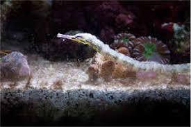Decorator Crab Tank Mates by Seahorse Tankmates What S Safe What S Not Fusedjaw Fusedjaw