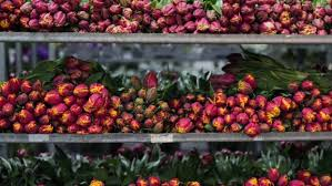 Tulips Waiting To Be Sold At Auction The United Flower Growers Warehouse In Auckland