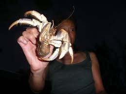Do Hermit Crabs Shed Their Legs by Hca Hermit Crab Association U2022 View Topic Longevity Part 2