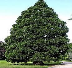 Amazon Giant Sequoia Seed