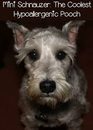 Non Shedding Dog Breeds Small by Miniature Schnauzer My Favorite Hypoallergenic Dog