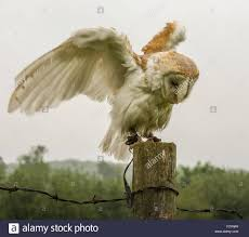 Photograph Of A Barn Owl Landing On A Fence Post And Showing Off ... Barn Owl Landing Spread Wings On Stock Photo 240014470 Shutterstock Barn Owl Landing On A Post Royalty Free Image Wikipedia A New Kind Of Pest Control The Green Guide Fence Photo Wp11543 Wp11541 Flight Sequence Getty Images Imageoftheday By Subject Photographs Owls Kaln European Eagle Coming Into Land Pinterest Pictures And Bird