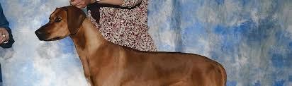 Do Rhodesian Ridgebacks Drool by Home Heritage Rhodesian Ridgebacks Breeder
