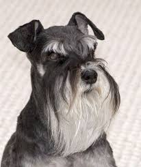 Do Giant Schnauzer Dogs Shed Hair by 55 Adorable Miniature Schnauzer Dog Pictures
