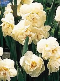 fragrant bulbs daffodils