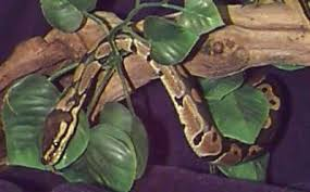 Ball Python Shedding Eating by Ball Python Royal Python Python Regius Snake Facts And Care
