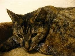 renal failure in cats kidney disease in cats renal insufficiency and chronic renal failure