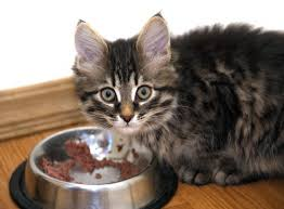 cat wont eat what to do when your cat won t eat the conscious cat