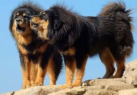 Dogs That Dont Shed Large by Tibetan Mastiff All Big Dog Breeds