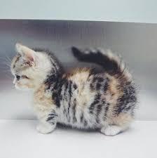munchkins cats best 25 munchkin kitten ideas on munchkin cat