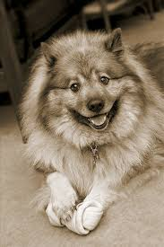 10 Dog Breeds That Shed The Most by Keeshond Dog Breed Information Pictures Characteristics U0026 Facts