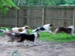 Do Treeing Walker Coonhounds Shed by May 2012 Collies Of The Meadow
