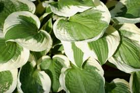 Good Plants For Bathrooms Nz by Best Plants For Dry Shade Top 13 Choices