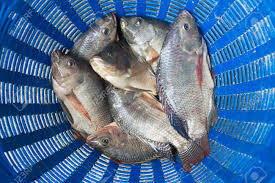 Tilapia And Nile Known As Mango Fish Nilotica In Blue
